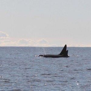 Killer whales