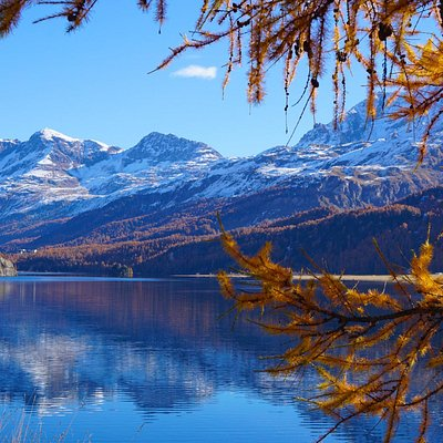 Yellow larches on Silvaplana lake
