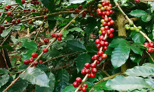 coffee berries at Pande's Farming