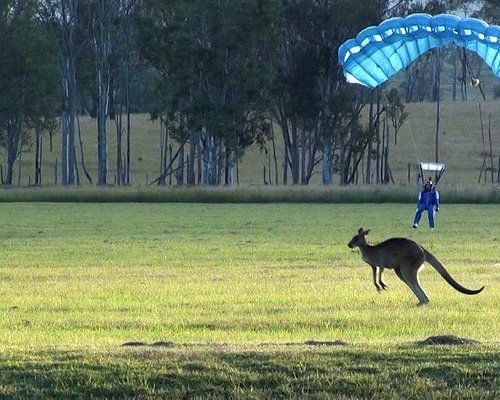 Kangaroo in the landing area with a Ramblers student landing at the Toogoolawah Drop Zone.