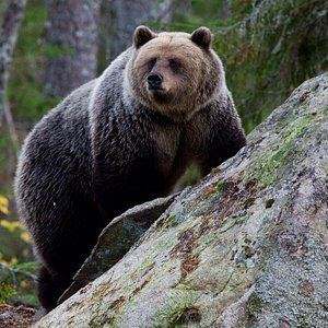 Bear watching from hide 10th of May-10th of September 2016