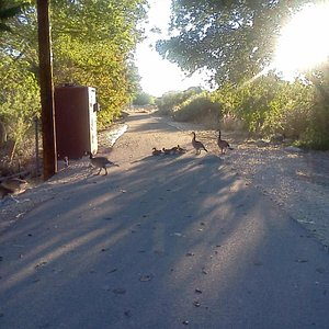 Ducks along the path