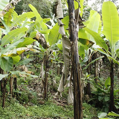 Coltivazione di banane