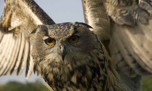 Amber -Eurasian Eagle Owl.