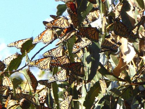 Monarch butterflies clutter among eucalyptus branches
