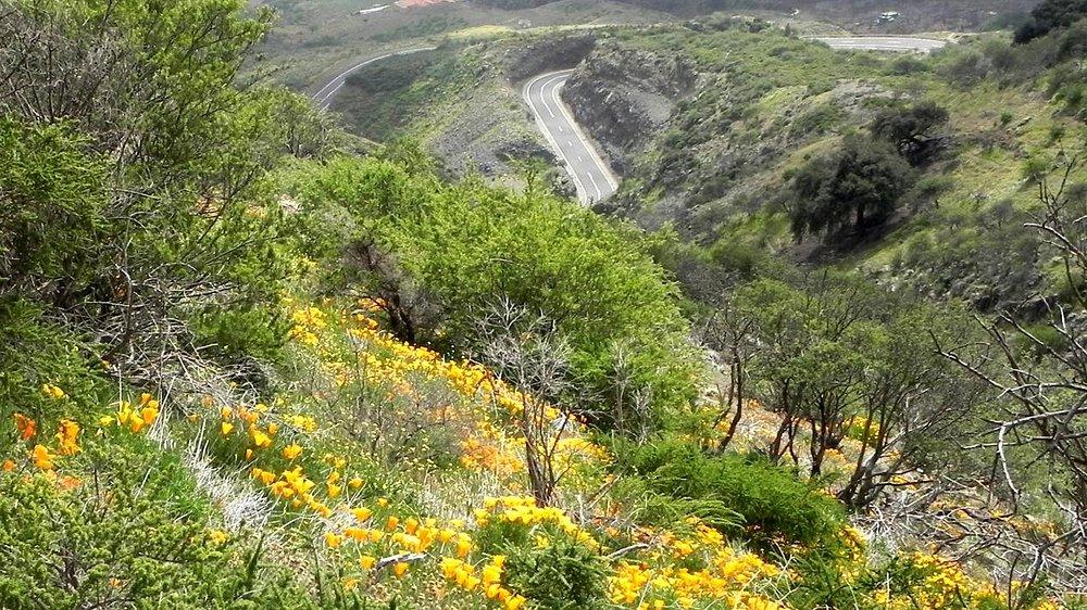 Goldmohnwiesen bei Arafo