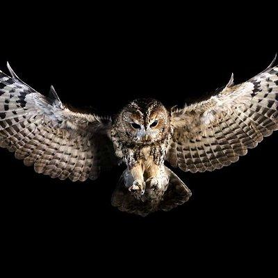 Percy, the tawny owl