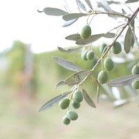 L'olio di Terre di Perseto è ottenuto soltanto da olive prodotte nella nostra azienda e provenie