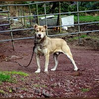 SAn Miguel Cattle Dog - Handsome & Powerful