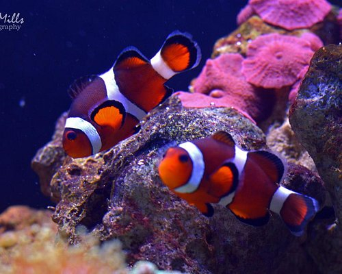 Clown Fish. Credit Shel Mills