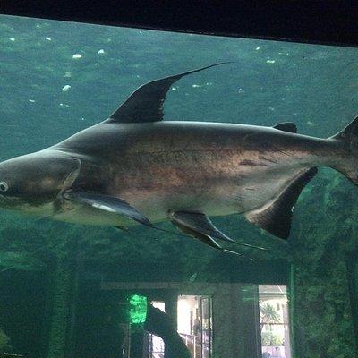 Chao Phraya Catfish