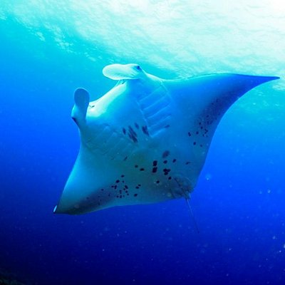 石垣島のダイビングで有名なマンタ