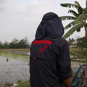 Rice fields Bantul