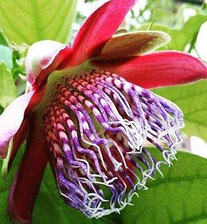 Пассифлора в оранжерее дендропарка