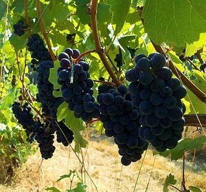 Pinot Noir hanging out before harvest