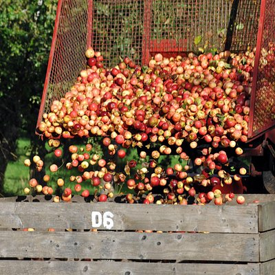 Harvesting the Organic Apples and Pears
