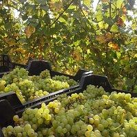 Chardonnay oogst
