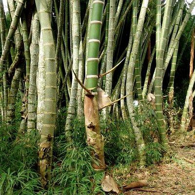 El Paraíso del Bambú y la Guadua en el Quindío