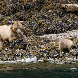 Mama grizzly and her cubs!