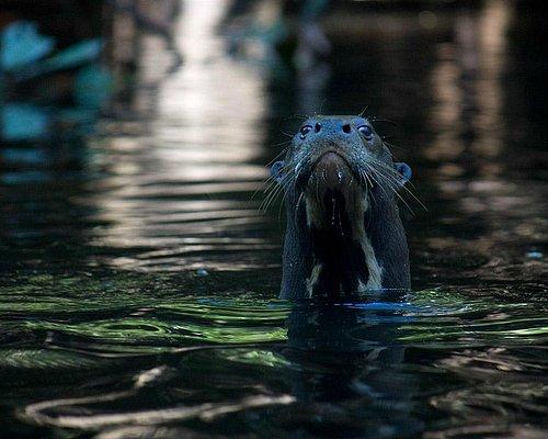 Giant otter at the Pacaya-Samiria!