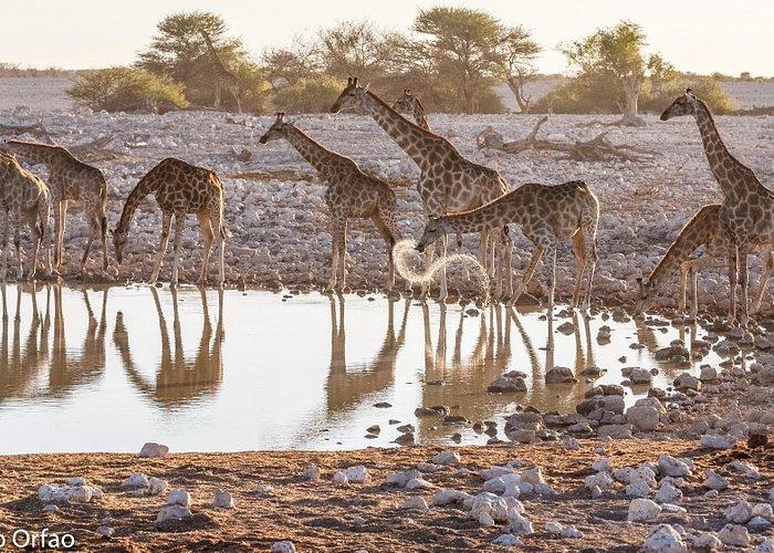 Giraffes at the Okaukuejo waterhole
