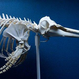 Scheletro di Delfino comune (Delphinus delphis)