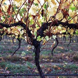 Our vineyard in Autumn