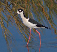 A black-necked stilt in the American Canyon Wetlands