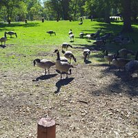 Geese enjoying Oak Park