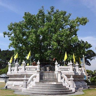 ต้นพระศรีมหาโพธิ์ อยู่ข้างพระอุโบสถ