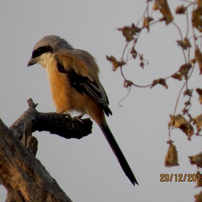 The typical unmistakable Shrike