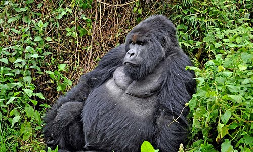 A big silverback surveys his family