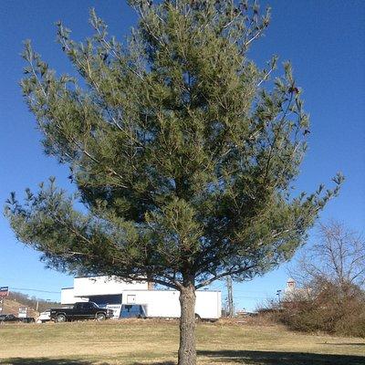 Одно из многих именных деревьев