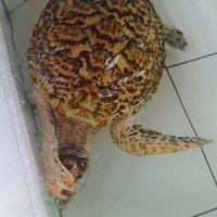 Penyu di Sea Turtle Conservation Negara
