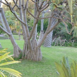 PANDANUS PALM FROM ASIA