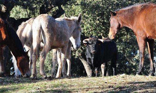 Toros bravos y caballos en libertad