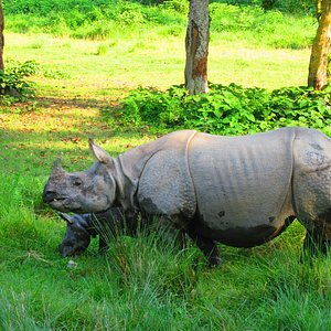 Indengered one horned Rhino in Chitwan National park.