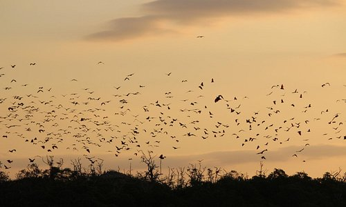 le Flying foxes al tramonto
