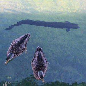 Eel and ducks