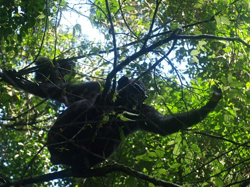 chimpansees in Budongo Forest
