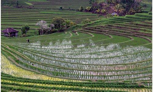 Les rizières du Belimbing Village