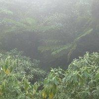 TREE FERNS IN THE QUEIMADAS CLOUDFOREST