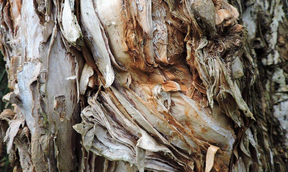 Melaleuca with soft bark
