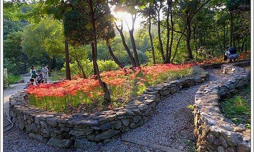 신구대학 식물원의 꽃무릇(상사화)