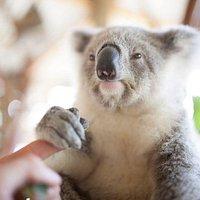 Cuddle up to a koala