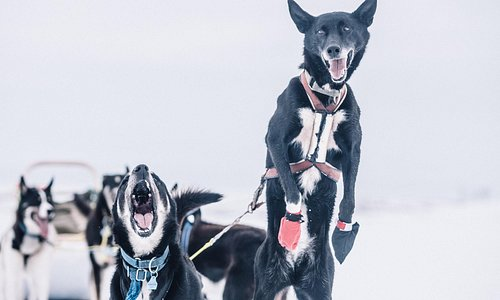 Happy and eager huskies