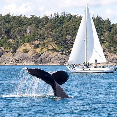 Humpback flukes off Saturna Island