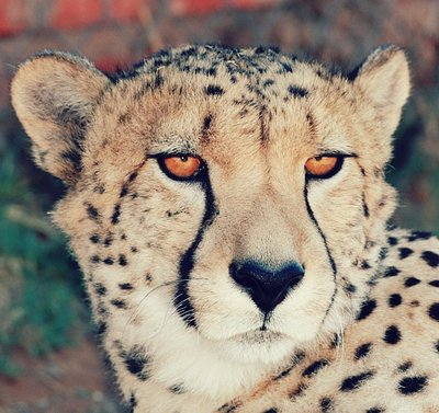 Flash - Cheetach