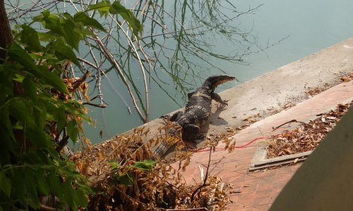 Ont or the numerous monitor lizard we've seen in the lake