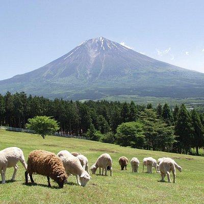 富士山の絶景を望むことができる羊の放牧場